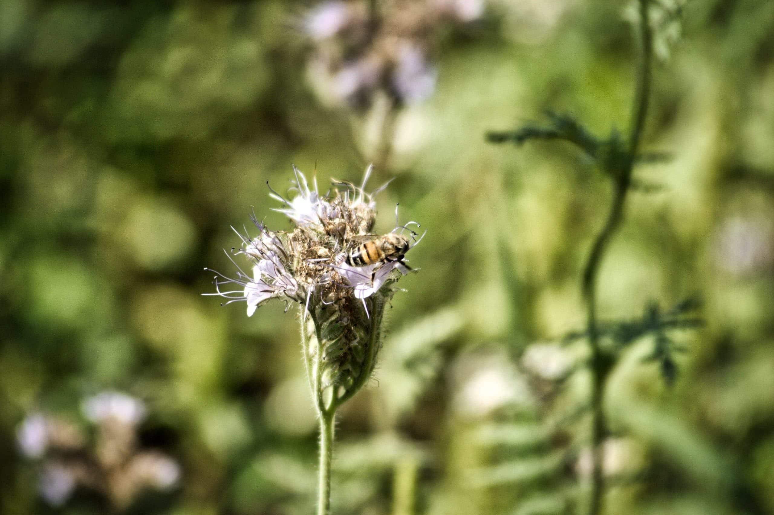 Phacelia - Pflanzenvielfalt im Weingarten