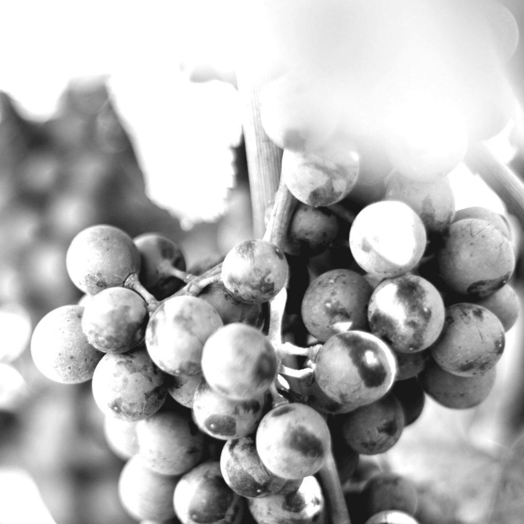 Weintraube - Bio-Zweigelt